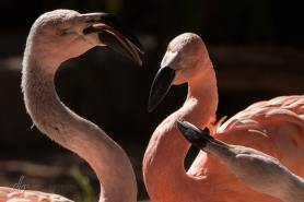 Flamingo-Menage_RdPrk-Zoo_0137
