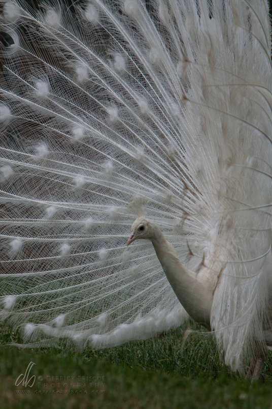 Albino-Peacock_IMG_0108