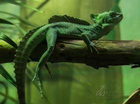 Green-Basilisk_PC261147
