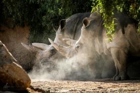 Rhinos_IMG_5060