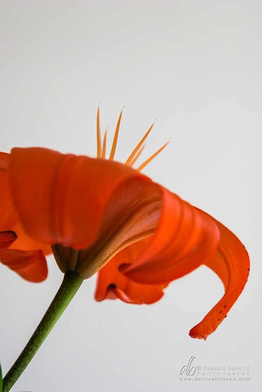 Tiger Lily_IMG_8795