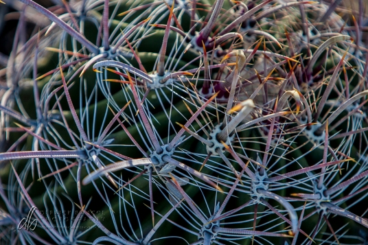 Prickly Pear_IMG_6382